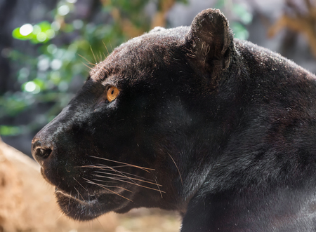 Close-up view of a black Jaguar - Panthera onca