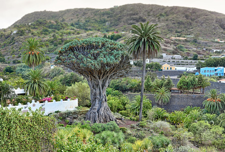 Famous Dragon Tree â € œDrago Milenarioâ € in Icod de los Vinos - Tenerife, Canary Islands Фото со стока