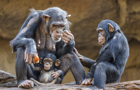 Close up of a Chimpanzee family - mother and two children Archivio Fotografico