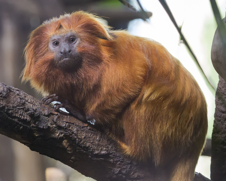 Close up of a golden lion tamarin