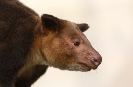 Close up view of a Goodfellows tree kangaroo - Dendrolagus goodfellowi