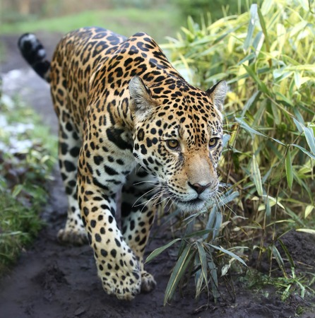Close-up view of a Jaguar walking - Panthera onca Stock Photo