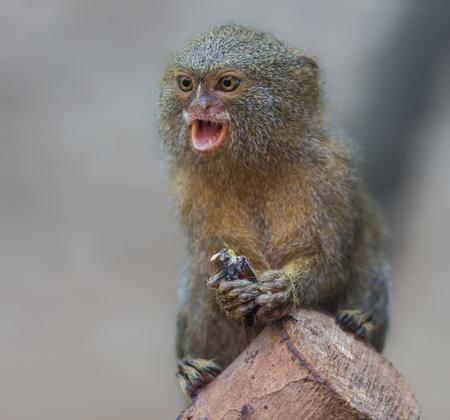 Close up of a pygmy marmoset - Cebuella pygmaea
