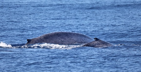 A blue whale calf with its mother near the coast of Iceland Pico - Azores Standard-Bild