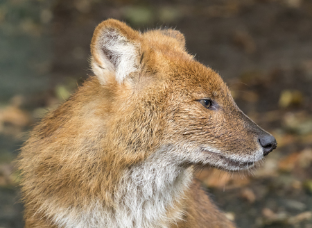Close up view of a Dhole - Cuon alpinus