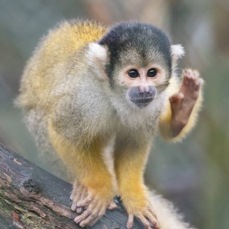Close up of a Black-capped Squirrel Monkey - Saimiri boliviensis