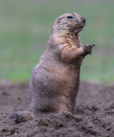 Close-up of a Black-tailed prairie dog - Cynomys ludovicianus