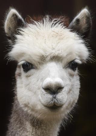 Close up view of a young alpaca Фото со стока