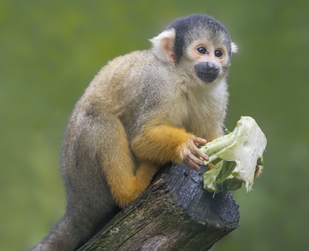 Close-up of a Black-capped Squirrel Monkey, Saimiri boliviensis with food