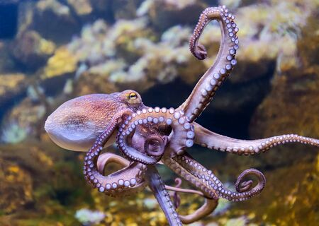 Close-up view of Common Octopus - Octopus vulgaris