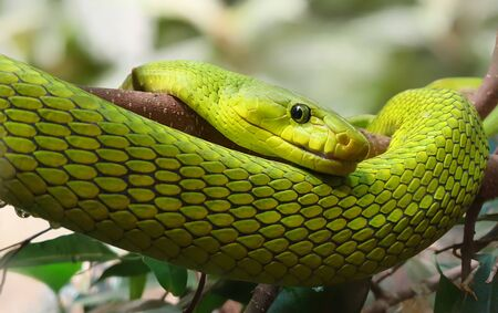 Close-up view of Eastern Green Mamba - Dendroaspis angusticeps