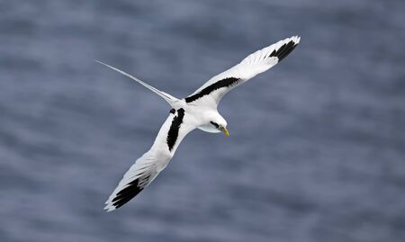 Flying white-tailed tropicbird - Phaethon lepturus - at south coast of La Reunion