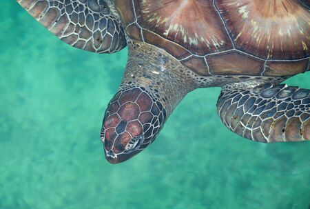 Close-up view of a Green Sea turtle - Chelonia mydas - from above Standard-Bild