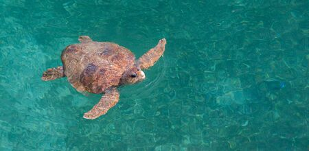 Green Sea turtle - Chelonia mydas with copy space