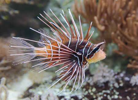 Close-up view of a Clearfin Lionfish - Pterois radiata