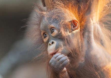 Close-up view of a young orangutan