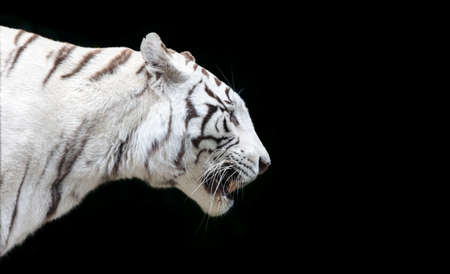 Side close up view of a white Bengal tiger (Panthera tigris tigris) - isolated on black background
