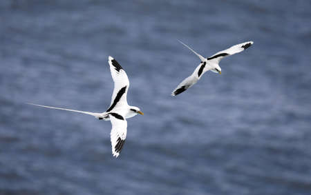 Pair of flying white-tailed tropicbird (Phaethon lepturus) at south coast of La Reunion
