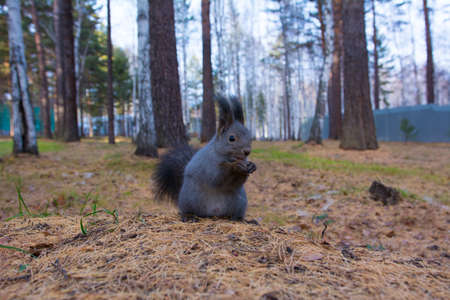 Siberian squirrel in the forest. Wild Siberian gray squirrel in the forest.