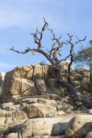 joshua: deadwood, Joshua Tree National Park II, California, USA Stock Photo