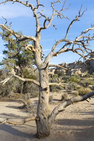 joshua: deadwood, Joshua Tree National Park I, California, USA