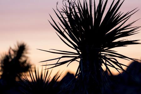 joshua tree national park: Yucca, Joshua Tree National Park, California, USA