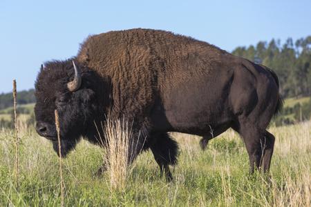 south dakota: Bison, South Dakota, Black Hills, USA Stock Photo