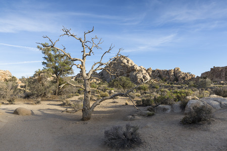 joshua: Joshua Tree National Park, California, USA