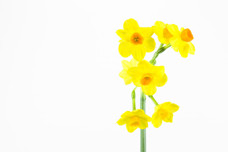 beautiful daffodil flower isolated on white background