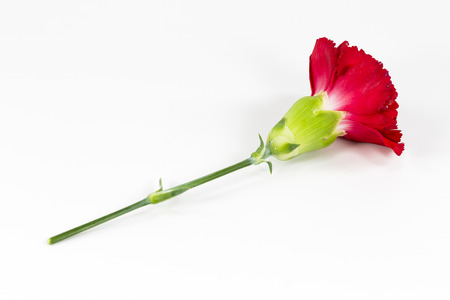 beautiful dianthus flower isolated on white background Stock Photo