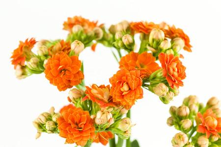 beautiful kalanchoe blossfeldiana flower isolated on white background