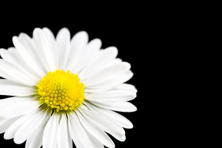 beautiful bellis perennis flower isolated on black background Stock Photo