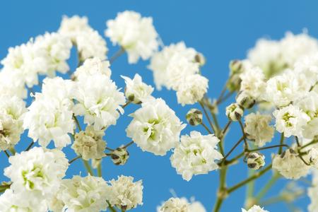 beautiful white gypsophila paniculata isolated on blue background Stock Photo