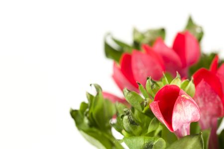 beautiful red bouvardia flower isolated on white background
