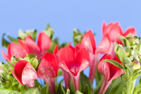 beautiful red bouvardia flower isolated on blue background