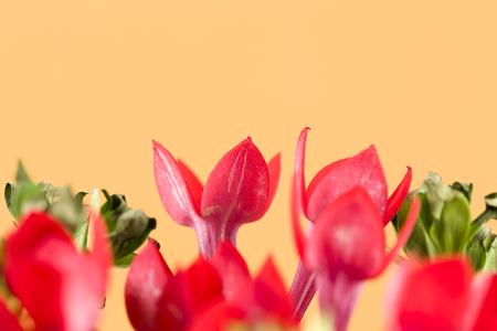 beautiful red bouvardia flower isolated on yellow background Stock Photo