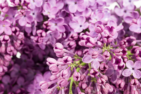 beautiful purple syringa lilac blossoms