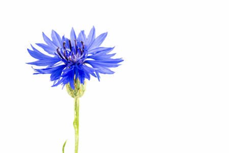 beautiful cornflower isolated on white background