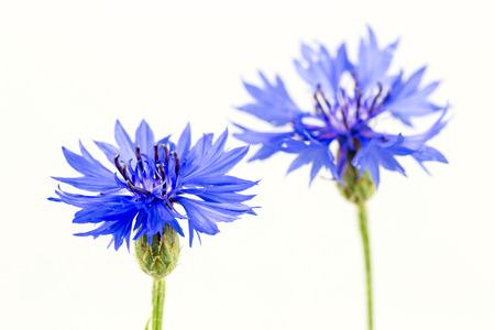 beautiful cornflowers isolated on white background Stock Photo