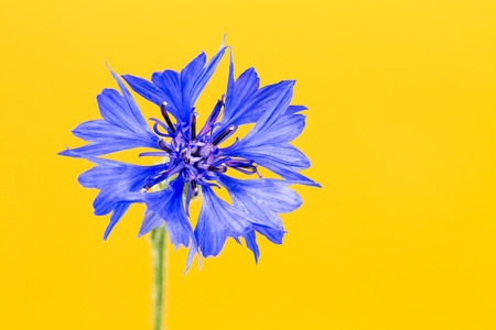 beautiful cornflower isolated on yellow background