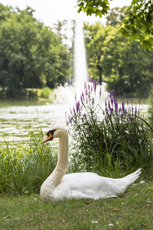 baroque: adult swan against fountain in the Great Garden of Dresden