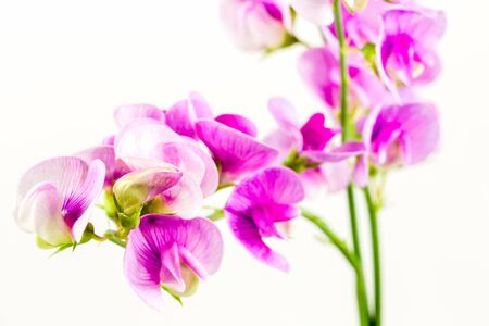 beautiful vicia flower isolated on white background Stok Fotoğraf