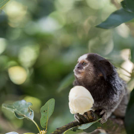 marmoset: Marmoset monkey eating a banana Stock Photo