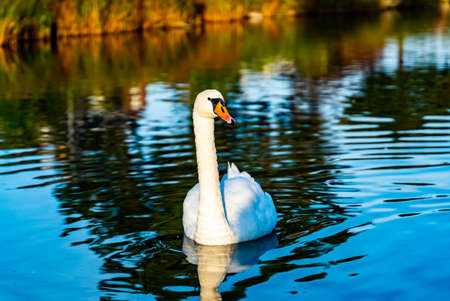 Beautiful white swan swimming in a calm pond. . High quality photo