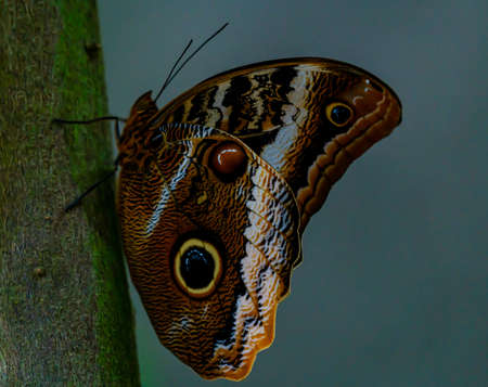 A large owl butterfly resting on a tree in the jungle. . High quality photo