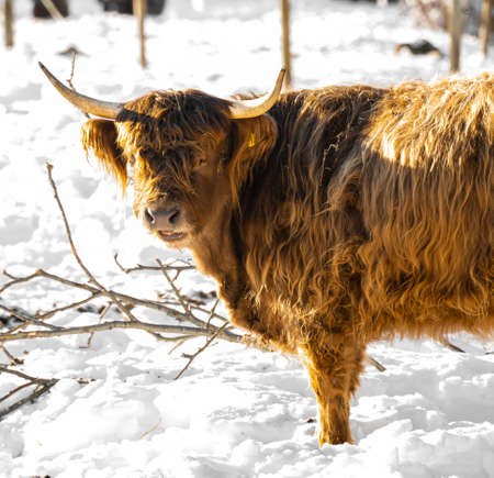 Scottish highland cow with long horns and ginger red fur.