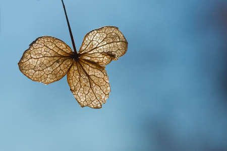expansive: An amber, backlit, solitary,  withered hydrangia leaf on an expansive blue background