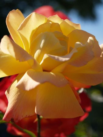 unblemished: Yellow flower in a garden Stock Photo