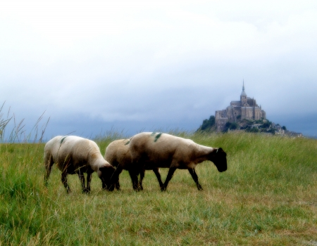 Sheeps in the Mont Saint Michel Bay (France) photo