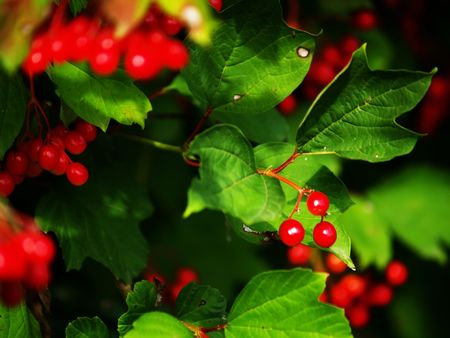 environmentalism: Red berries and foliage